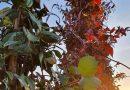 Sterjasmijn blad wordt rood