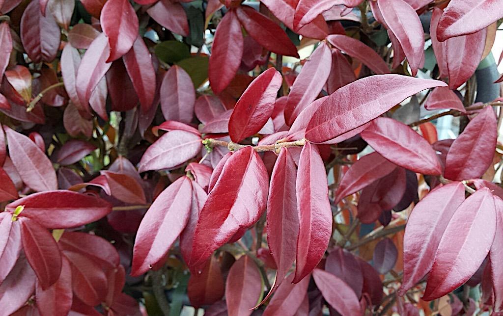 Waarom krijgt de Toscaanse jasmijn rood blad?
