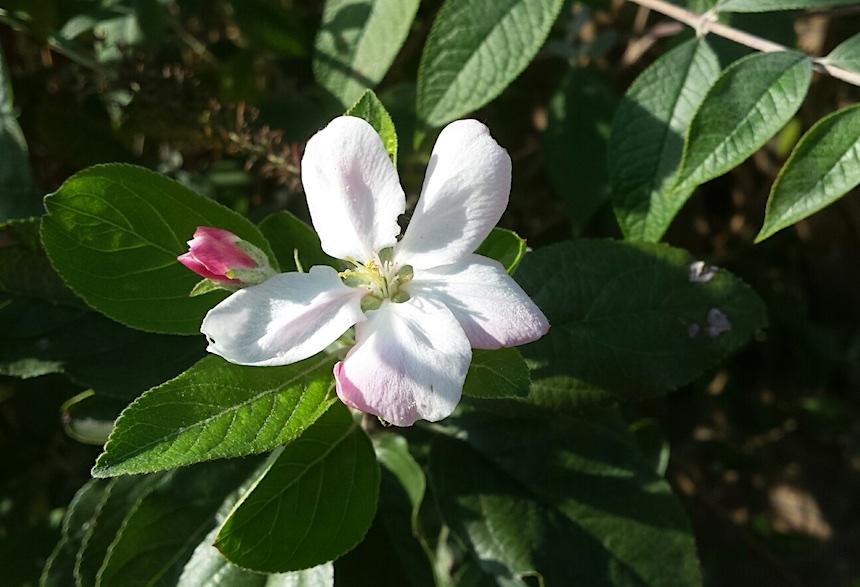 Welke appels zijn zelfbestuivend? - Zelfbestuivende appelbomen