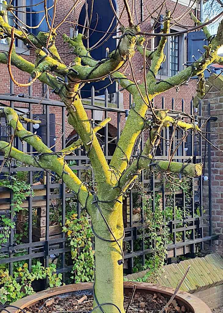 Welke bomen kunnen in een pot of plantenbak?