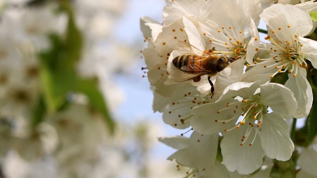 Welke peren zijn zelfbestuivend? - Zelfbestuivende perenbomen