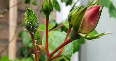 Hoe kan je Bladluis bestrijden en voorkomen?