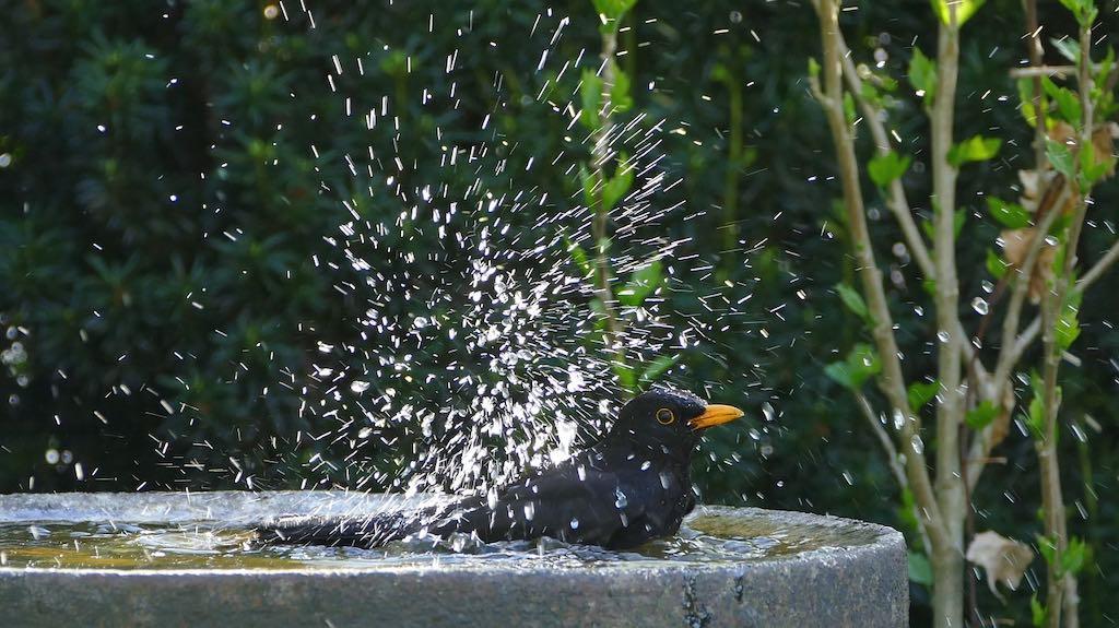 water in de tuin zorgt voor meer vogels. Dat hoeft geen grote vijver te zijn, maar ook een waterschaal werkt heel goed.