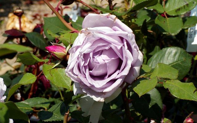 de beste Klimrozen - Rosa Azubis
