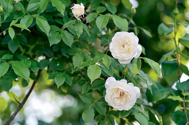 de beste Klimrozen - Rosa Colonial White