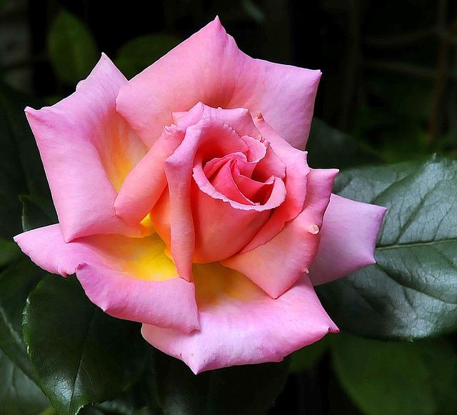de beste Klimrozen - Rosa Compassion
