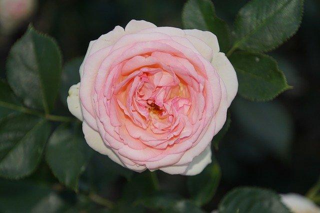 de beste Klimrozen - Rosa Eden Rose
