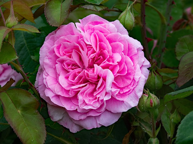 de beste Klimrozen - Rosa Gertrude Jeckyll