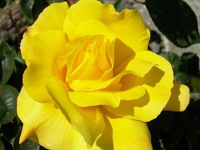 de beste Klimrozen in schaduw - Rosa Golden Showers