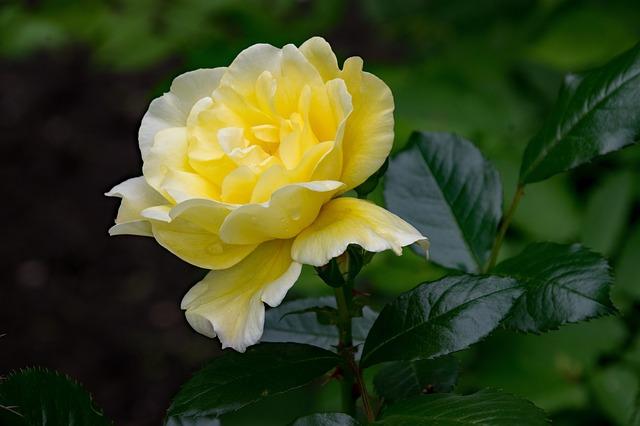 de beste Klimrozen in schaduw - Rosa Maigold