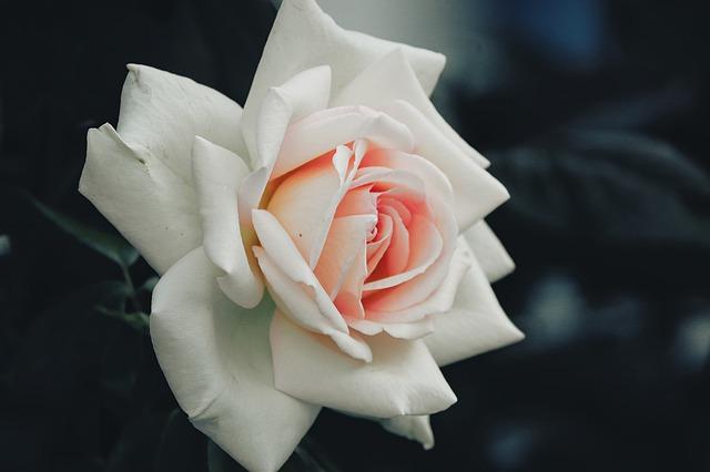 de beste Klimrozen - Rosa White New Dawn