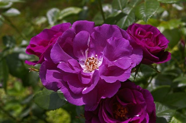 de beste Klimrozen - Rosa Rhapsody in Blue