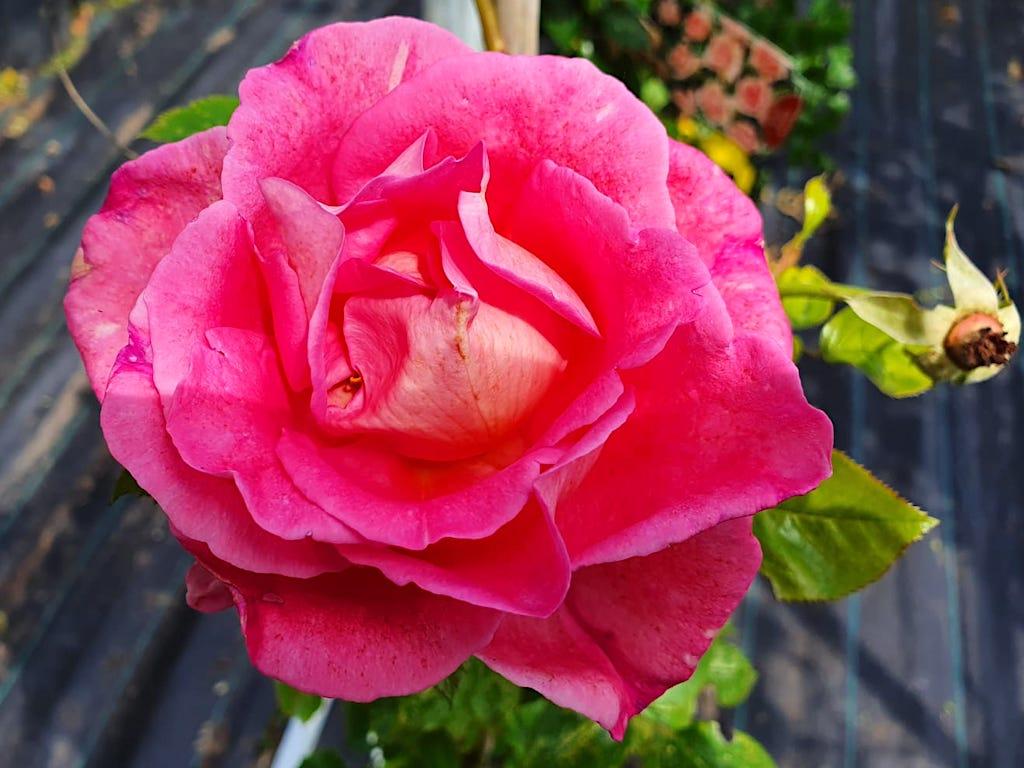 de beste doorbloeiende klimrozen die sterk geuren - Roos Parfum Royal