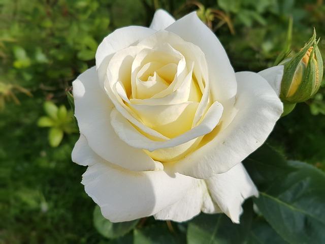 de beste Klimrozen - Rosa Schneewalzer