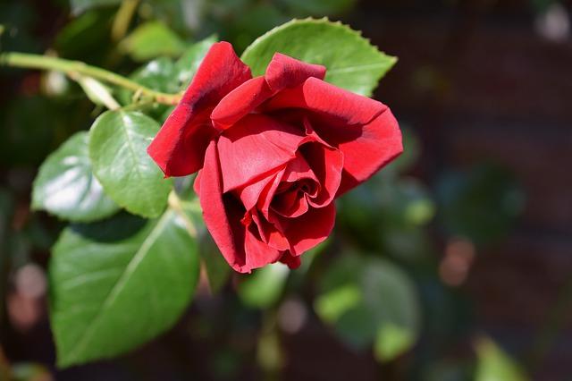 de beste Klimrozen - Rosa Sympathy