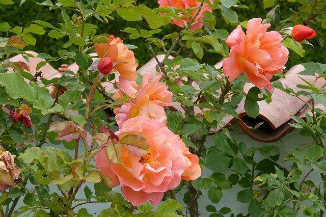 de beste Klimrozen - Rosa Westerland