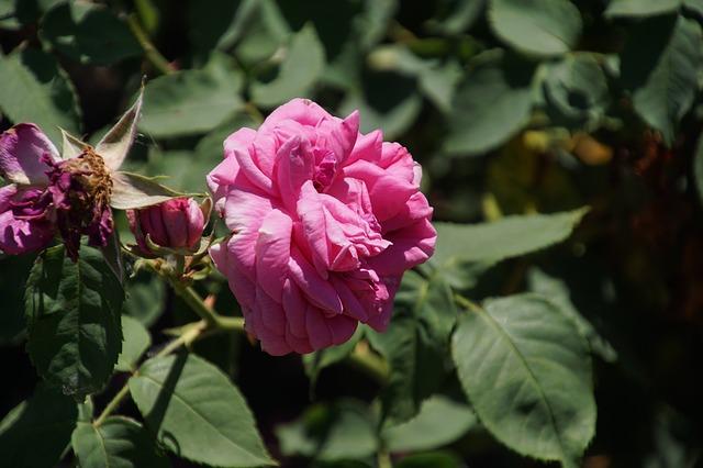 de beste Klimrozen - Rosa Mme Isaac Pereire