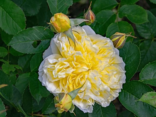 de beste Klimrozen - Rosa The Pilgrim