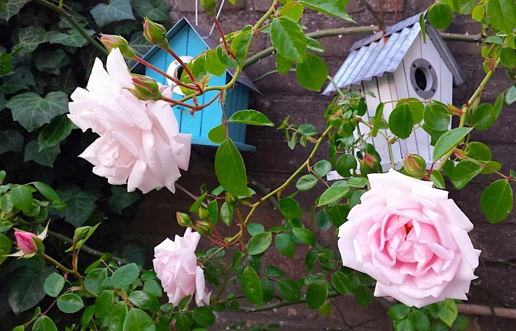 de beste Klimrozen - Rosa New Dawn