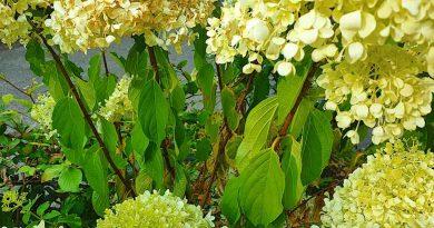 Hortensia droogte - blad hortensia hangt slap