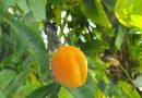 Is vrucht van Passiebloem - Passiflora eetbaar?