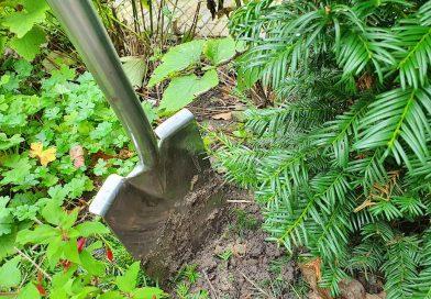 groenblijvende heester of boom verplanten in 7 stappen