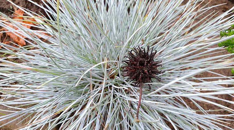 Welke Siergrassen blijven groen in de winter? - wintergroene / groenblijvende siergrassen