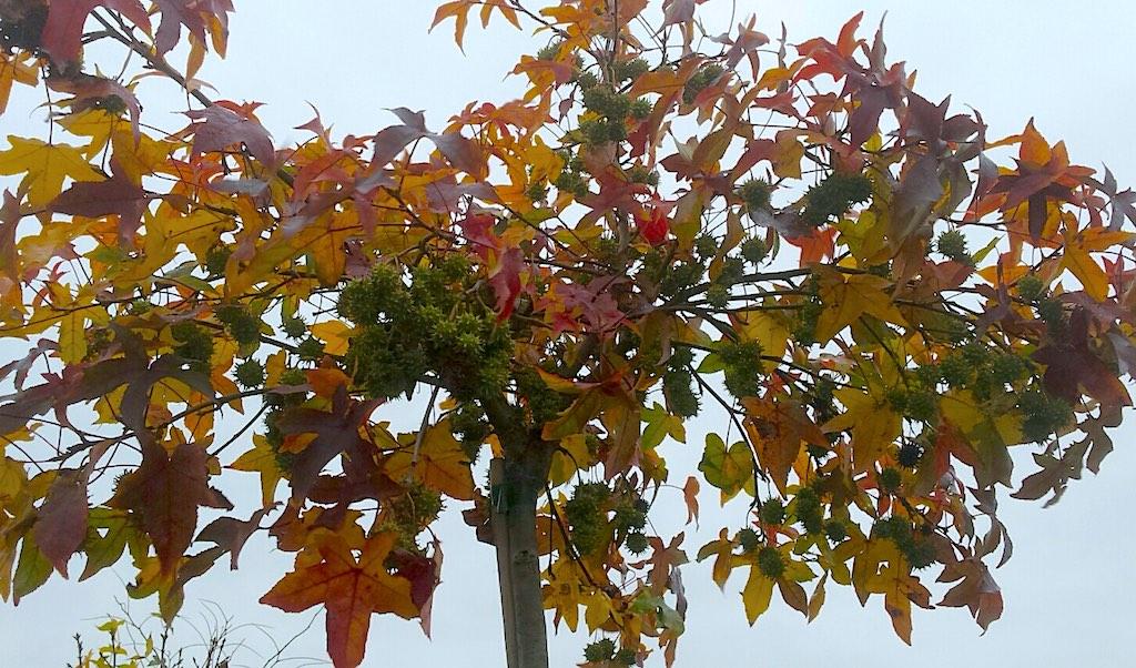 Herfstkleuren in de kleine tuin - Liquidambar amberboom herfst