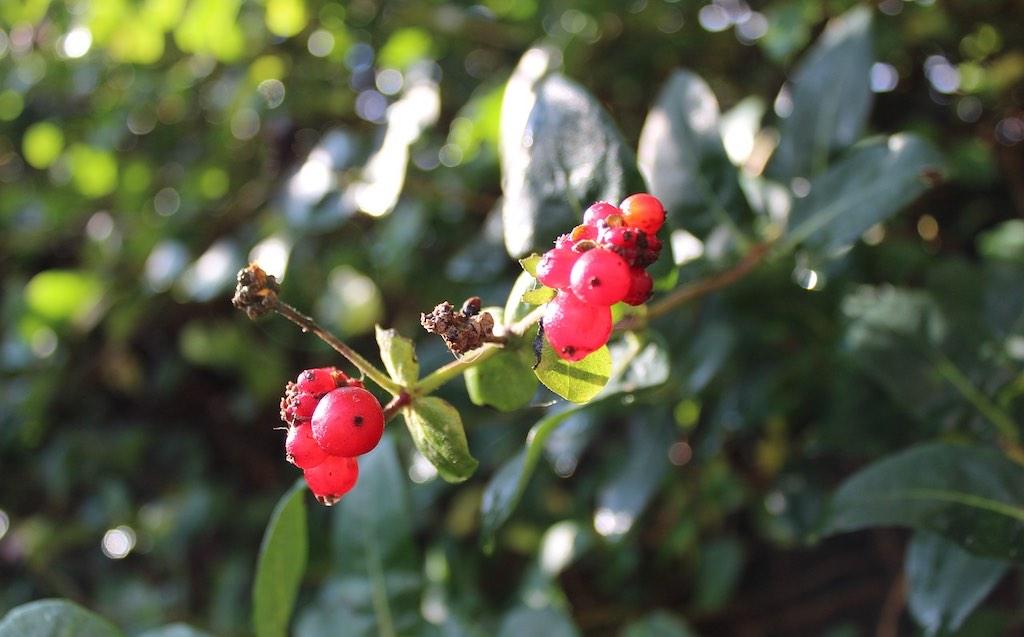 Mooiste bessen voor vogels - Lonicera (kamperfoelie)