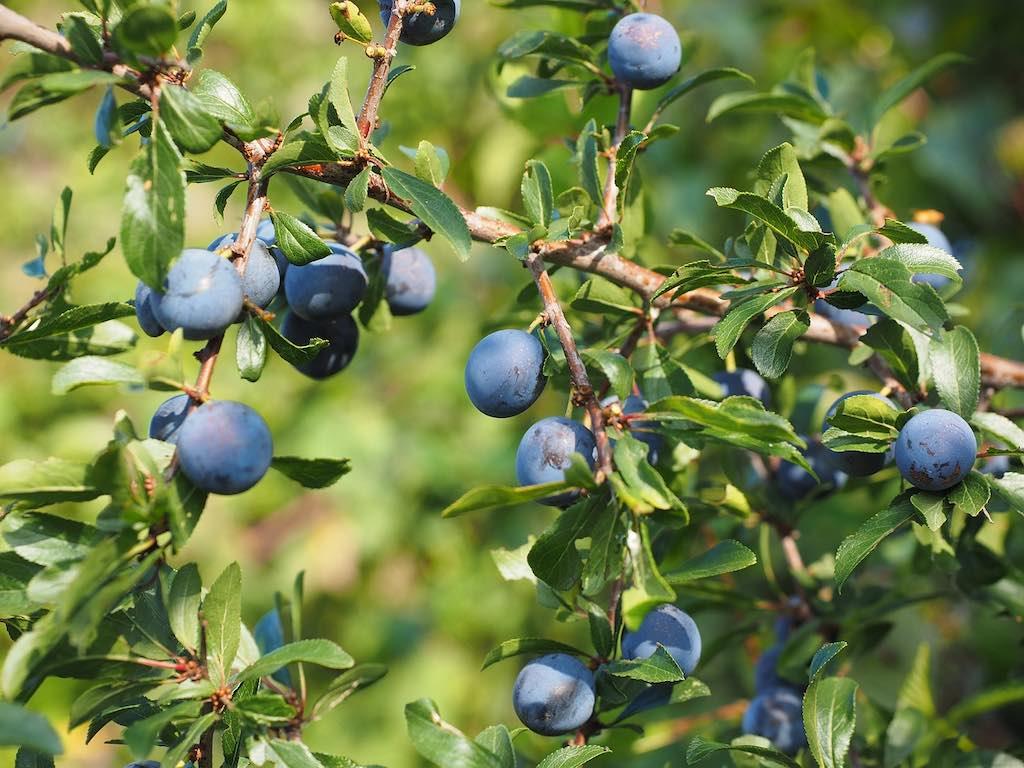 Mooiste bessen voor vogels - Prunus spinosa (sleedoorn)