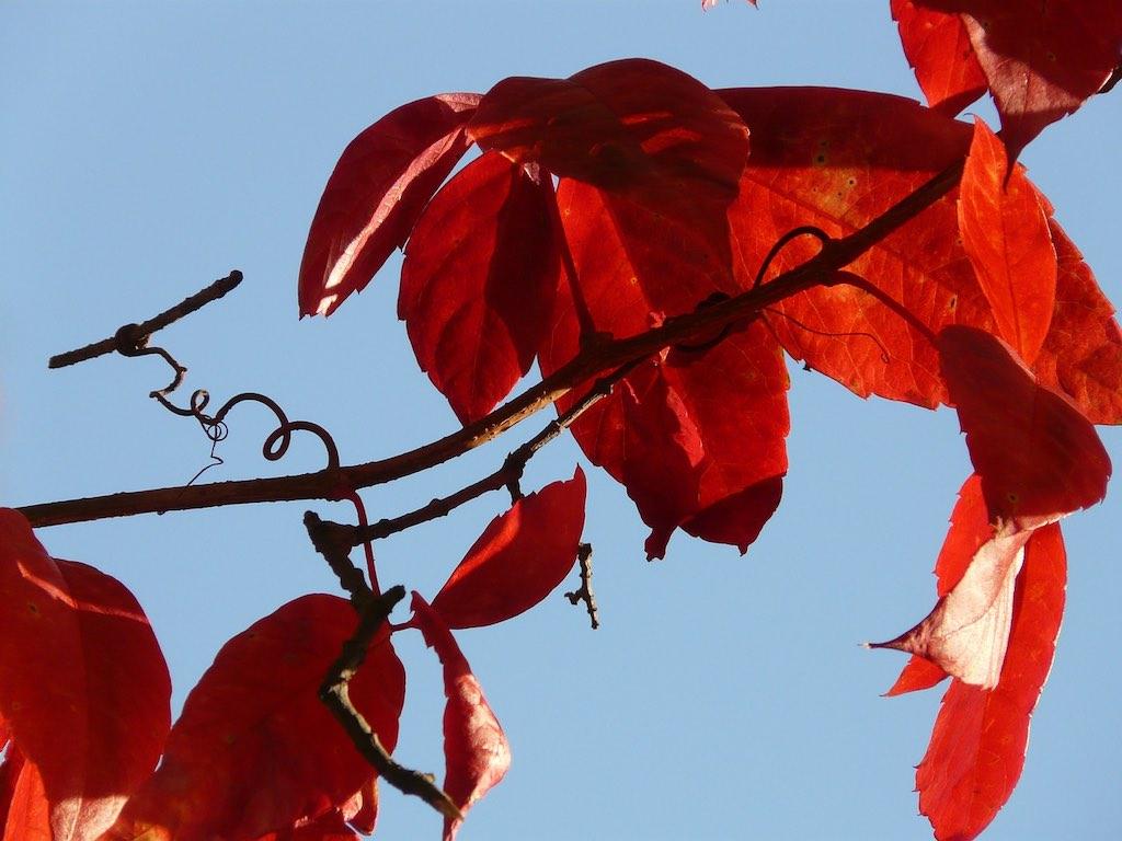 Herfstkleuren in de kleine tuin - Vitis sierdruif herfst