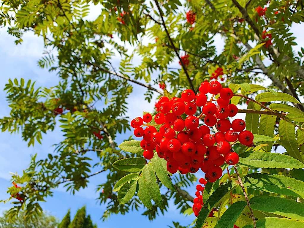 Mooiste bessen voor vogels - Sorbus aucuparia (lijsterbes)