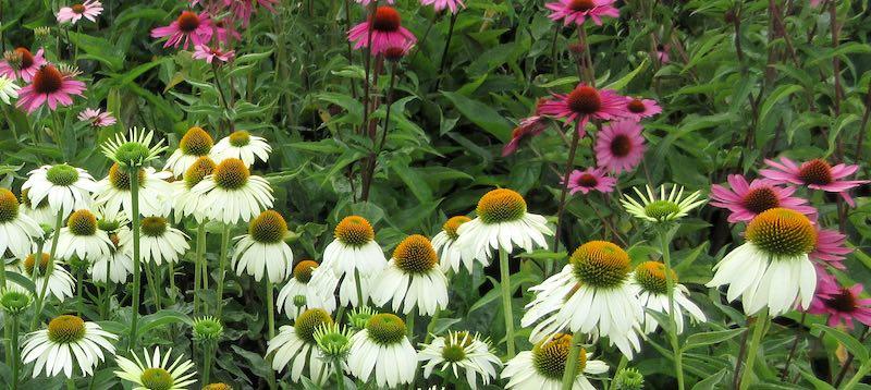 Vaste planten koop je in het najaar. Tuinieren met een klein budget: Tips voor gratis en goedkope planten