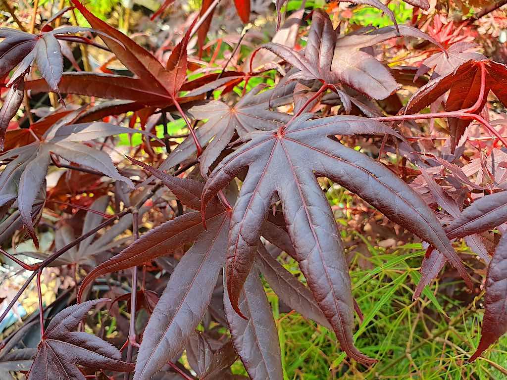 Bomen met rood blad - Japanse esdoorn (Acer palmatum) roodbladig