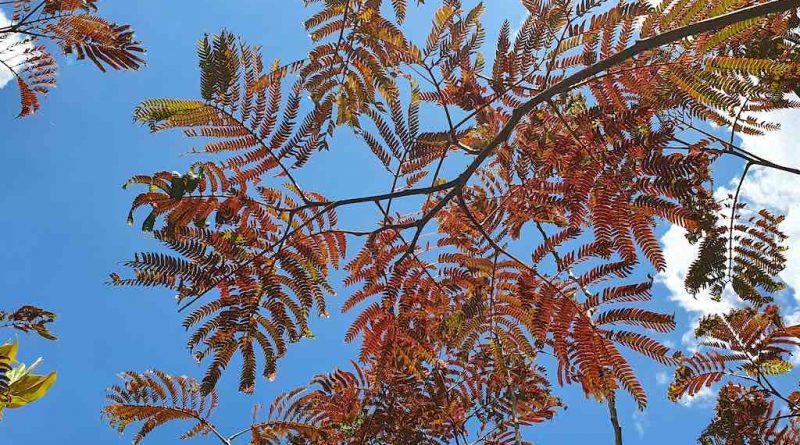 Welke bomen hebben rood blad? Roodbladige bomen