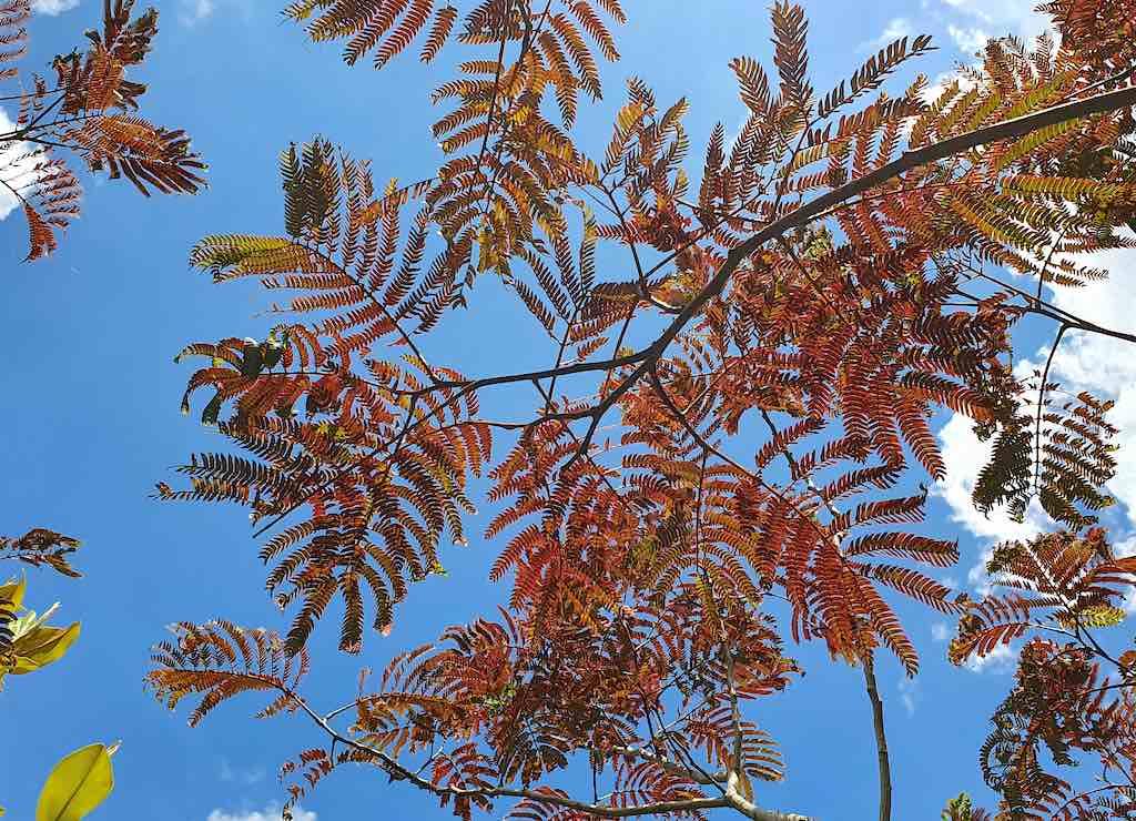 Bomen met rood blad - Albizia Summer Chocolate Roodbladig