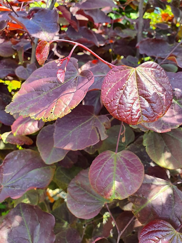 Bomen met rode bladeren - Cercis Forest Pansy (judasboom) roodbladig