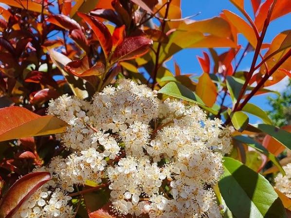 Rode haagplanten - Glansmispel (Photinia fraseri Red Robin)