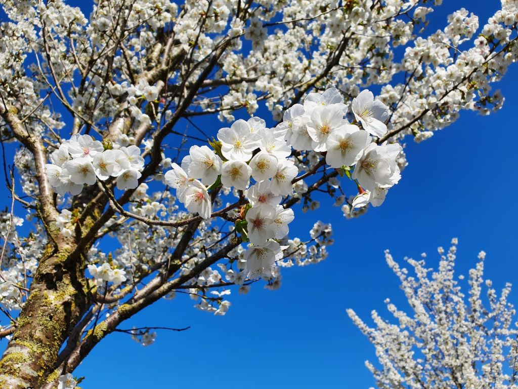 Prunus serrulata - Sierkers - Hoogte en afmetingen