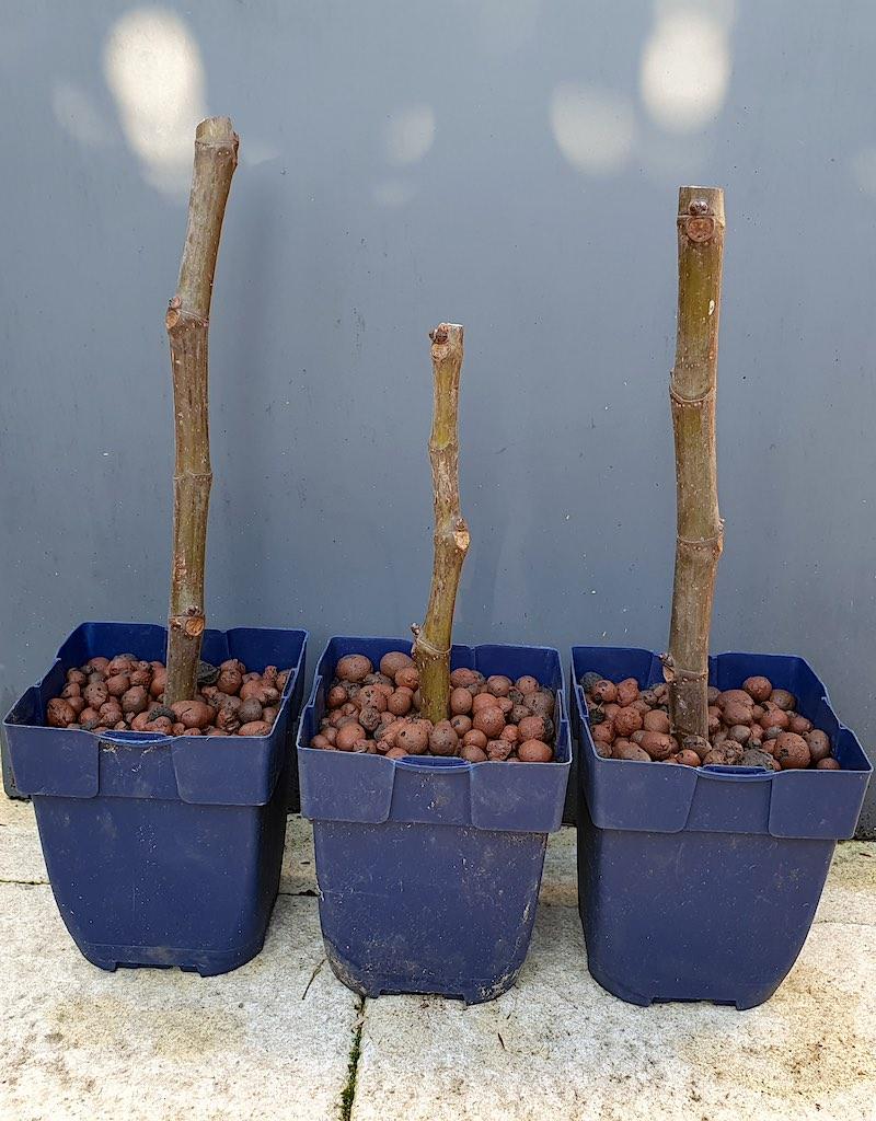 Neem winterstekken (hier van een vijg, Ficus carica)