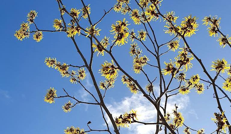 Wat bloeit er in februari (Hamamelis)