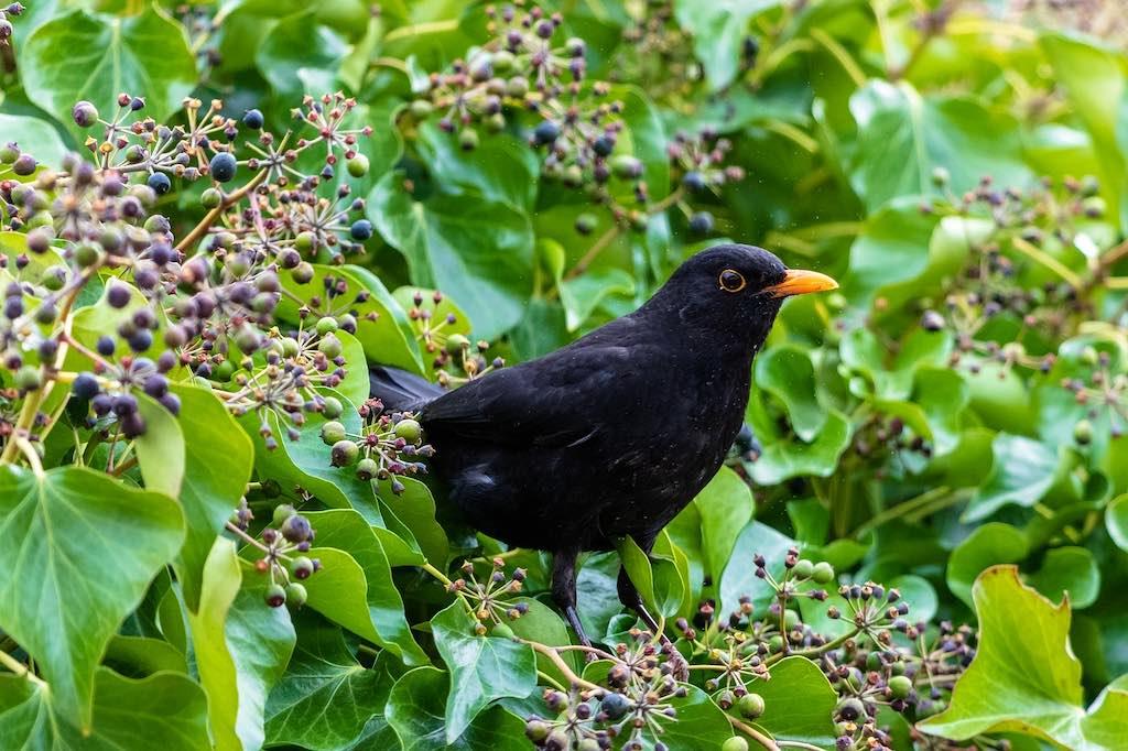 Bessenplanten voor vogels: vogelvoer
