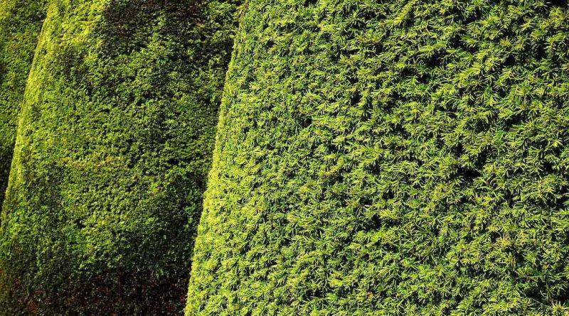 Een volle en dikke haag neemt veel geluid op, waardoor planten geluidsoverlast verminderen