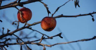 Wanneer en hoe appelboom snoeien
