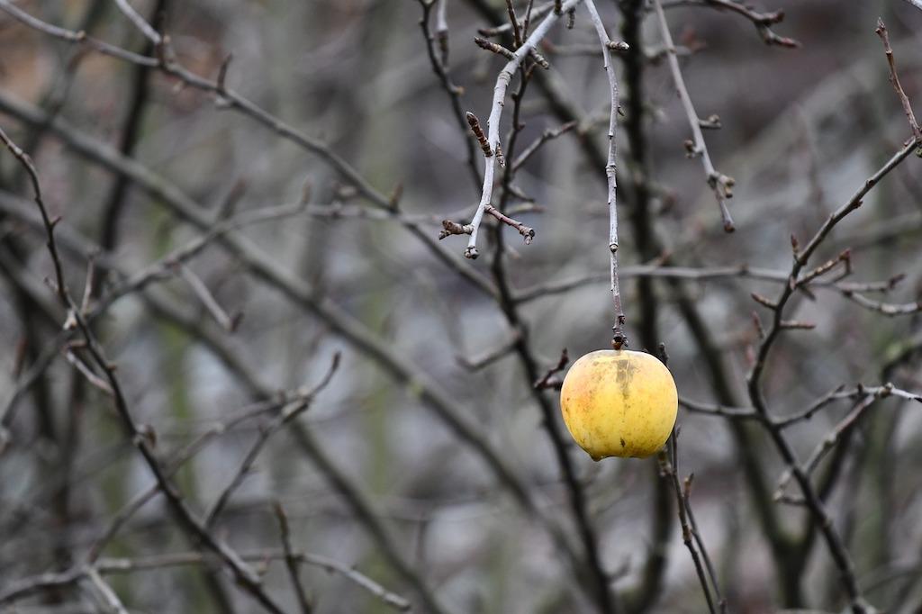 Wintersnoei van een appelboom - snoeien fruitbomen