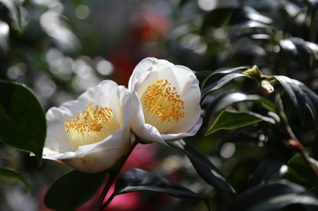 Camellia maart - tuintaken