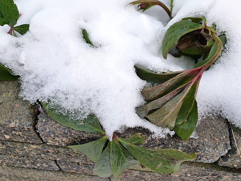 Helleborus heeft last van vorst en hangt helemaal slap in de winter.