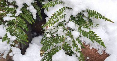 Wintergroene varens of bladhoudende varens