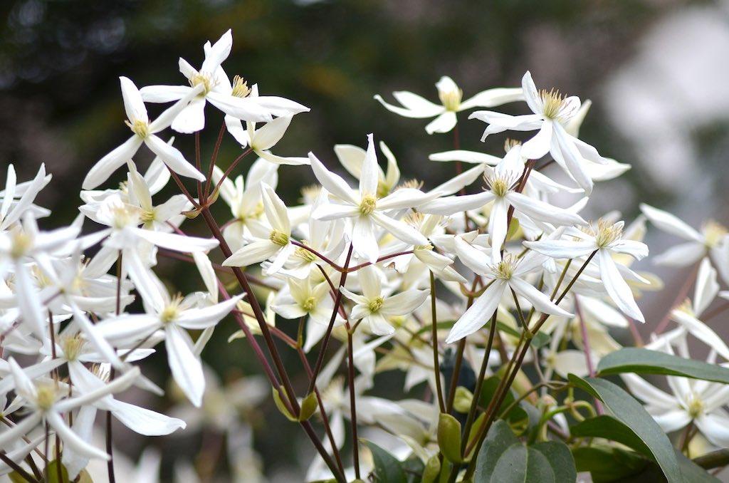 Klimplanten voor een smalle haag - Wintergroene clematis of Clematis armandii