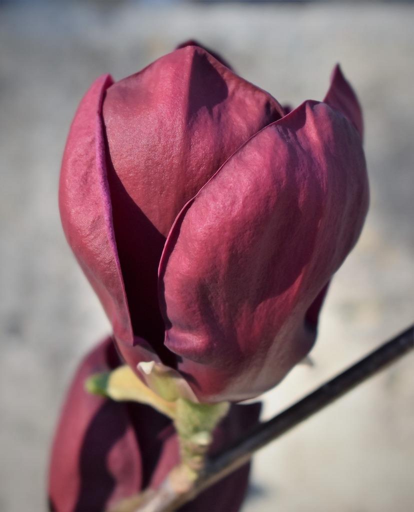 Magnolia Genie hoe hoog hoogte